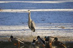 Flock of ducks and heron. Flock of ducks and gray heron on a frozen lake in Croatia Stock Image
