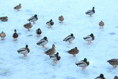 Flock of ducks on ice. A flock of ducks on the ice of a frozen river Stock Photography