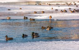 Flock of ducks on the ice of frozen river. Some birds swim in the water Royalty Free Stock Photo