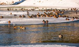 Flock of ducks on the ice of frozen river. Some birds swim in the water Royalty Free Stock Photos