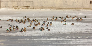 Flock of ducks on ice. A flock of ducks on the winter river ice Royalty Free Stock Photo