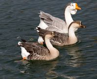 A flock of ducks on the lake in autumn.  Stock Images