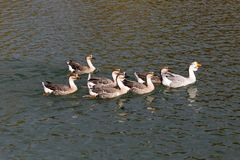 A flock of ducks on the lake in autumn.  Royalty Free Stock Photo