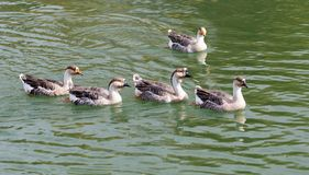 A flock of ducks on the lake in autumn.  Stock Photography