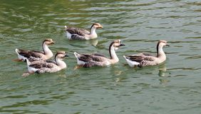A flock of ducks on the lake in autumn.  Royalty Free Stock Image