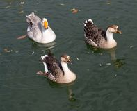 A flock of ducks on the lake in autumn.  Royalty Free Stock Photos