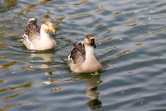 A flock of ducks on the lake in autumn.  Royalty Free Stock Images