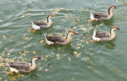 A flock of ducks on the lake in autumn.  Royalty Free Stock Photography