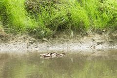 The flock of ducks is living on edge of canal. stock photo