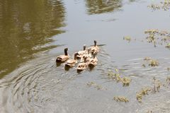 The flock of ducks is living on edge of canal. Stock Images