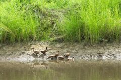 The flock of ducks is living on edge of canal. Royalty Free Stock Images