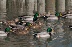 Flock of ducks, mallard. Group of ducks, mallards swim together Royalty Free Stock Image