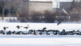 Flock of Ducks. A flock of Mallards landing in an ice covered pond Royalty Free Stock Image