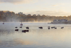 Flock of ducks in misty waters early dawn. Boats and city landscape.