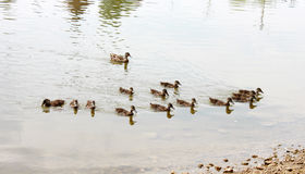 Flock of Ducks Stock Image