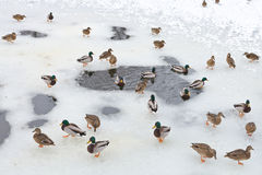 Flock of ducks near water glade in frozen lak Stock Photos