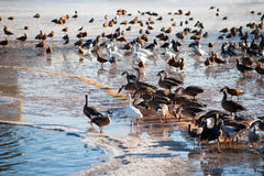 Flock of ducks near water glade in frozen lake in cold winter da Stock Photos