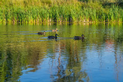 A flock of ducks on the pond Stock Photo