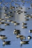 Flock of ducks on pond, Pierre, SD Stock Images