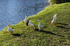 Flock of Ducks Stock Photography
