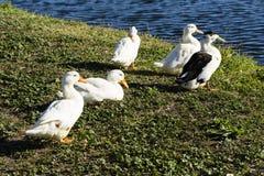 Flock of Ducks Royalty Free Stock Photos