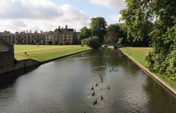 Flock of ducks on river Cam. Stock Photos