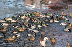 Flock of ducks and a seagull Royalty Free Stock Image