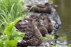 Flock of ducks on the shore Royalty Free Stock Photo