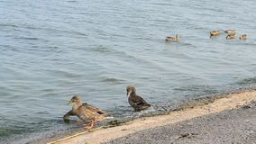 Flock of ducks on the shore of water reservoir stock footage