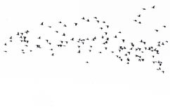 Flock of Ducks Silhouetted Against a White Background Royalty Free Stock Photography