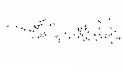 Flock of Ducks Silhouetted Against a White Background. Large Flock of Ducks Silhouetted Against a White Background Stock Images