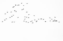 Flock of Ducks Silhouetted Against a White Background. Large Flock of Ducks Silhouetted Against a White Background Royalty Free Stock Photography