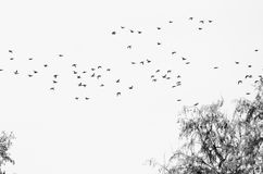 Flock of Ducks Silhouetted Against a White Background Royalty Free Stock Images