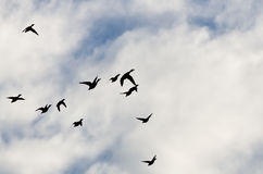 Flock of Ducks Silhouetted in a Cloudy Sky. As They Fly Stock Photo