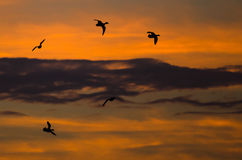 Flock of Ducks Silhouetted in the Sunset Sky As They Flies Stock Photography