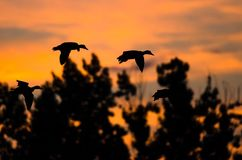 Flock of Ducks Silhouetted in the Sunset Sky As They Flies. Small Flock of Ducks Silhouetted in the Sunset Sky As They Flies Royalty Free Stock Photos