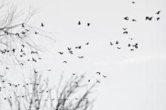 Flock of Ducks Silhouetted on a White Background Royalty Free Stock Photo