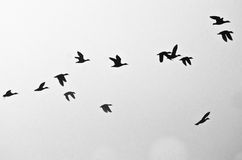 Flock of Ducks Silhouetted on a White Background Stock Image