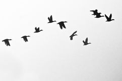 Flock of Ducks Silhouetted on a White Background Royalty Free Stock Image