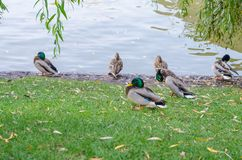 A flock of ducks sit on the shore of the pond together. Male and female. royalty free stock image