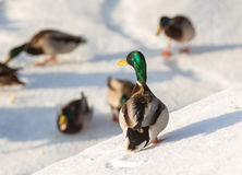 Flock of ducks on snow. In the winter Royalty Free Stock Photography
