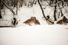 Flock of ducks in the snow in winter in nature. Russian nature Stock Photo