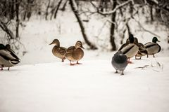 Flock of ducks in the snow in winter in nature, Russia. N nature Stock Photography