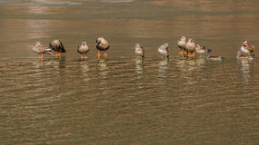 Flock of ducks standing on an ice. Sheet in the middle of a river Stock Images