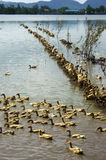 Flock of ducks standing on  river Stock Image