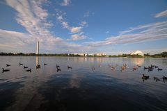 A flock of ducks swim across Tidal Basin with Washington Memorial and Jefferson memorial and the background. royalty free stock image