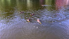 Flock of ducks swim in the pond. On a sunny summer day stock video footage