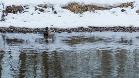 Flock of ducks swimming in river stock video footage