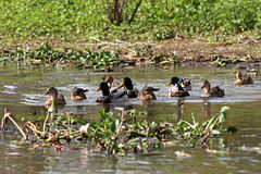 Flock of ducks swimming on the water. Ducks swimming on the water in the Atchafalaya Royalty Free Stock Photo