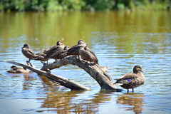 Flock of ducks in Travis Wetland Nature Heritage Park in New Zealand Royalty Free Stock Images